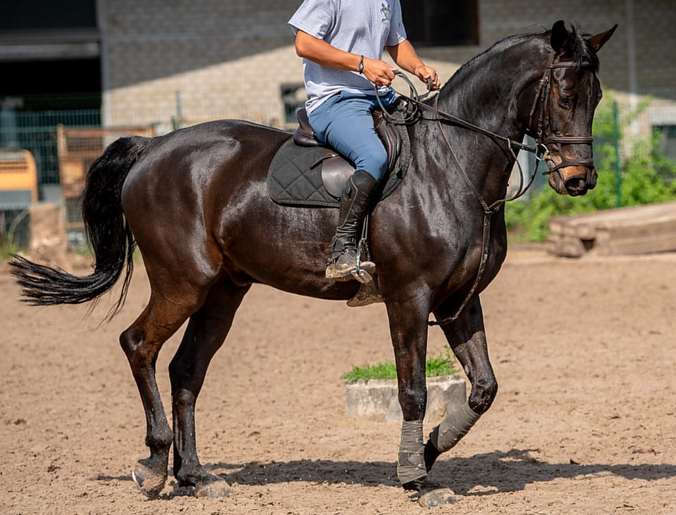 Sell 11-year-old Hol. gelding for Sport GP